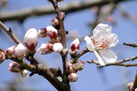 Get Small Town Savvy At The Almond Blossom Festival